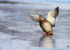 Mallard duck landing on the ice Royalty Free Stock Photography