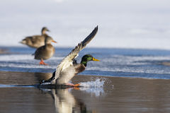 A Mallard duck landing in an icy pond. A mallard duck landing on a winter day Royalty Free Stock Images