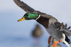 A Mallard duck landing in an icy pond. A mallard duck landing on a winter day Stock Photos