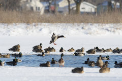 A Mallard duck landing in an icy pond. A mallard duck landing on a winter day Stock Images