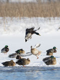 A Mallard duck landing in an icy pond. A mallard duck landing on a winter day Royalty Free Stock Photo
