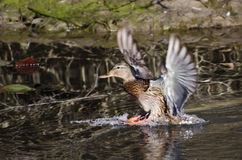 Mallard Duck Landing in Pond. Female Mallard Duck Landing in Pond Royalty Free Stock Photography