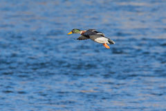 Mallard duck on landing. On river Stock Photography