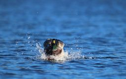 Mallard Duck Landing with a Splash stock photos
