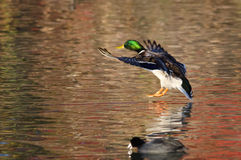 Mallard Duck Landing sur Autumn Pond Images stock