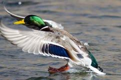 Mallard Duck Landing sur l'eau froide images libres de droits