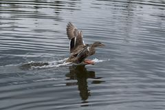 Mallard Duck Landing on Water. Female Duck Landing on Water Lake Pond Royalty Free Stock Photo