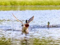 Mallard Duck Lands On Pond. A male mallard duck lands on the water after a brief fight Stock Image