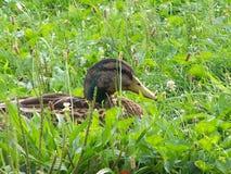 Mallard duck. A mallard duck laying in grass closeup Stock Photo