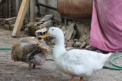 Duck. Mallard duck line... seams those ducks are going home from local stream to some other place ... green head are male and grey head are female Stock Images