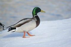 Mallard duck. Lonely mallard duck standing on the snow Royalty Free Stock Photos
