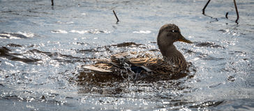 Mallard duck Looking for action. Royalty Free Stock Photo