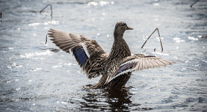 Mallard duck Looking for action. Royalty Free Stock Images