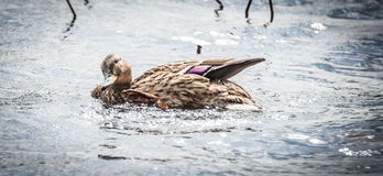 Mallard duck Looking for action. A female Mallard duck seems to give you the look as she swims around, parading for a drake Royalty Free Stock Images