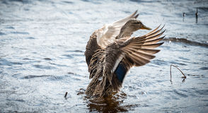Mallard duck Looking for action. A female Mallard duck struts around for a mate Stock Photography