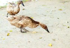 Mallard duck looking for food. On the ground Royalty Free Stock Photo