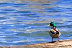 Mallard duck looking over its left shoulder. Mallard duck looking at you over its left shoulder against a blue lake Stock Image