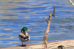 Mallard duck looking over its right shoulder. Mallard duck looking at you over its right shoulder against a blue lake Royalty Free Stock Photos