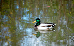 Mallard duck looking at you. With waves Royalty Free Stock Photography