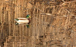 Mallard Duck making ripples in water;. Mallard Duck making waves among grasses, rushes, and reeds; Mallard Duck reflected in marsh; Mallard Duck making ripples royalty free stock image