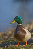 Mallard Duck Male. Portrait of Mallard Male Duck Stock Photo