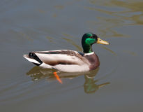 Mallard Duck (Male) Stock Photography
