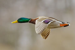 Mallard Duck. Male in active flight Royalty Free Stock Images