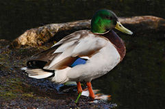 Mallard Duck. The male birds (drakes) have a glossy green head and are grey on wings and belly, while the females (hens or ducks) have mainly brown-speckled Stock Photography