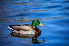 A Mallard duck male in blue water. The mallard is a dabbling duck that breeds throughout the temperate and subtropical Americas, Eurasia, and North Africa and Stock Photo