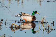 Mallard Duck. A male mallard duck chilling out in some very shallow water Stock Images