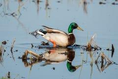 Mallard Duck Stock Images