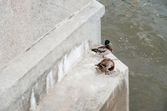 Mallard duck male and female couple perched on steps of Moskow-river embankment, copyspace. On the concrete wall Royalty Free Stock Images