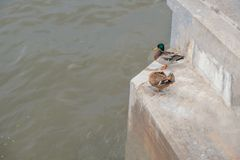 Mallard duck male and female couple perched on steps of Moskow-river embankment, copyspace on water. Mallard duck male and female couple perched on steps of Royalty Free Stock Photo