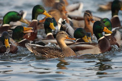 Mallard duck,male and female swimming on pond. A drake Mallard duck swimming on pond.The Mallard or Wild Duck (Anas platyrhynchos) is a dabbling duck which Royalty Free Stock Images