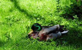 Mallard duck male in the grass. Mallard duck bird animal green grass nature wild colorful male Royalty Free Stock Image