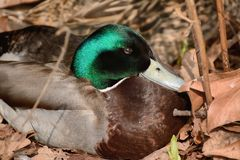 Mallard duck. Male mallard duck nesting in dead reeds Royalty Free Stock Image