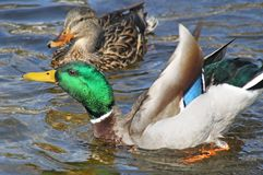 Mallard duck male showing off his colorful feathers to his mate during mating season. Mallard duck drake showing off his colorful feathers to his mate during Royalty Free Stock Photography