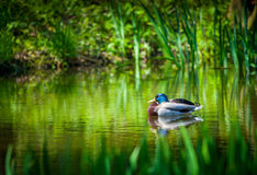 Mallard duck. Male Mallard duck sleeping on picturesque tranquil lake Royalty Free Stock Images