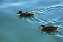 Mallard duck male swimming in a beautiful blue water royalty free stock photo