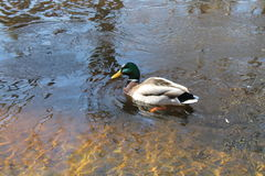 Mallard Duck. A male duck swimming on beautifully clear water Royalty Free Stock Photos