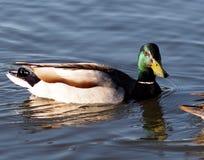 Mallard Duck. Male mallard duck swimming in lake Stock Photography