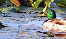 Mallard Duck male swimming in Marsh surrounded by Lily Pads in early morning Royalty Free Stock Photography