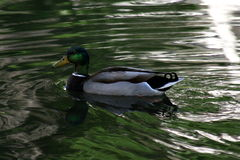 Mallard duck. Male duck swimming in a pond Stock Image
