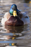 Mallard Duck Male on Water. Mallard Duck Male (Anas platyrhynchos) on Water Stock Photos