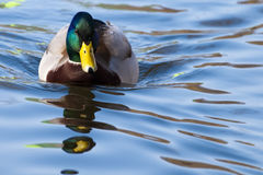 Mallard Duck Male on Water. Mallard Duck Male (Anas platyrhynchos) on Water Royalty Free Stock Photography