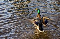Mallard duck. Male mallard duck on a water Royalty Free Stock Photos