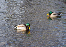 Mallard duck males. Two mallard duck males swimming in the river Stock Images