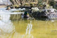 Mallard duck, mallard anas platyrhynchos, with green head swimming in pond. Mallard duck, mallard anas platyrhynchos, with green head in pond Royalty Free Stock Images