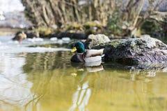 Mallard duck, mallard anas platyrhynchos, with green head swimming in pond. Mallard duck, mallard anas platyrhynchos, with green head in pond Stock Photos