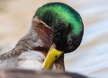 Mallard Duck. In New Jersey Royalty Free Stock Photos